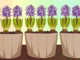 how to plant hyacinths 8 steps with pictures wikihow