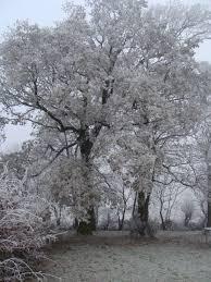 frosty apple tree country garden uk