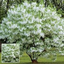 72 best trees images on small ornamental trees