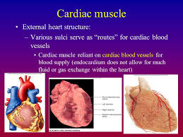 External Heart Anatomy The Cardiovascular System Ppt Download