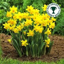 narcissus tete a tete dwarf rockery daffodil spring flowering