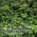 rubus tricolor betty ashburner from burncoose nurseries