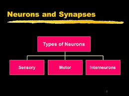 What Is Interneuron Neurons And Synapses Types Of Neurons Sensory Motor Interneurons