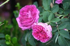 roses and other gardening joys the main rose garden part 1