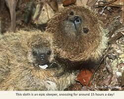 4 toed sloth edge species of the week maned three toed sloth