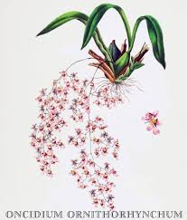 oncidium orchid oncidium ornithorhynchum orchid botanical print by orchids of mexico