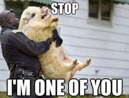 Funny Pig Memes - funny pig