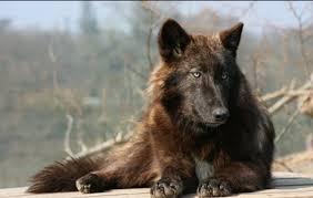 belgian shepherd timberwolf valley wolf