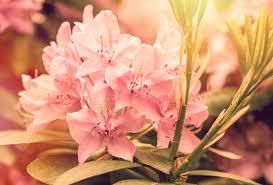 Pink Spring Flowering Shrubs - how to plant colorful flowering azaleas u0026 rhodos espoma
