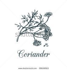 vector coriander illustration seeds flowers hand stock vector