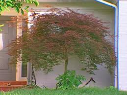 Japanese House Plants How To Transplant A Japanese Maple How Tos Diy
