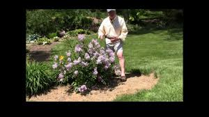 Lilca by Best Flowering Shrubs Dwarf Lilac Red Pixie Youtube