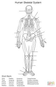 human skeletal system worksheet coloring page free printable