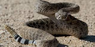 rattlesnakes are waking up coming out in phoenix
