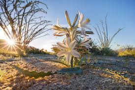 art in nature desert springshine anza borrego wildflowers