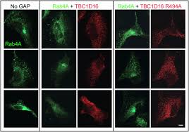Christmas Decorations Reduced Glutathione Tbc1d16 Is A Rab4a Gtpase Activating Protein That Regulates Receptor