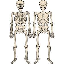 Halloween Skeleton Halloween 1930 U0027s Jointed 55 Inch Skeleton Decoration
