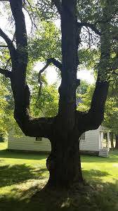 159 best bent trees images on americans indian