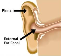 Ear Anatomy Pictures Hearing By Design Educate