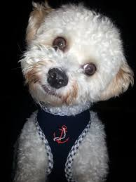 maltese puppy has wavy hair after first hhairas ir cut maltese with curly hair pictures to pin on pinterest pinsdaddy