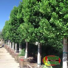 blockbuster ficus trees