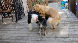 comment empecher mon chien de monter sur le canap le chevauchement