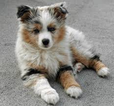 australian shepherd 4 months size facts about australian shepherds pethelpful
