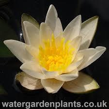 native aquatic plants uk nymphaea u0027snow princess u0027 water garden plants
