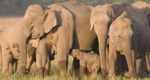 conservation initiative for the asian elephant