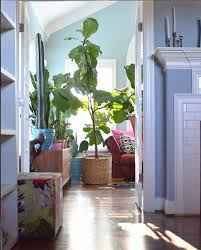 olive is the new fiddle leaf some pretty thing