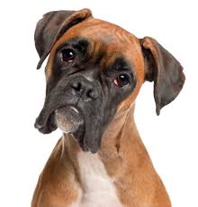 best dog food for boxers a to z pet care