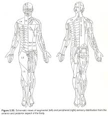 Dermatomes Map Chapter 3 The Longitudinal Neurologic Systems