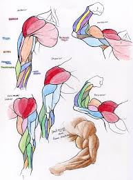 anatomy human arm muscles by quarter virus on deviantart