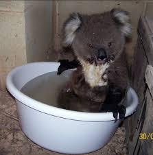 Angry Koala Meme - this advert for gumnut the angry koala just won the internet metro
