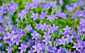 Blue And Purple Flowers And Purple Flower Wallpaper