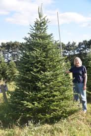 fraser fir christmas tree planting to harvest cycle of a fraser fir