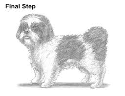 how to draw a dog shih tzu