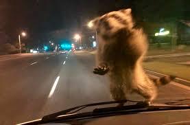 raccoon goes on wild police ride along