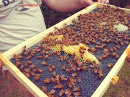 strathcona beekeepers honey bee nucs vs packages
