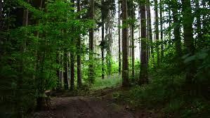 Washington forest images Sun rising in morning shines light through lush washington forest jpg