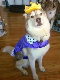 Husky Dog Halloween Costumes 19 Huskies Cute Costumes