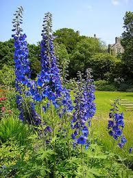 delphinium flowers delphinium flowers