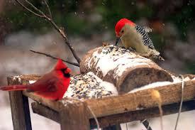 Birds In Your Backyard Nebraska Bird Feeder Birds What U0027s In Your Backyard Prairie