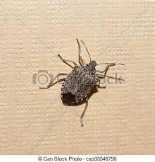 was ist das für ein insekt eine wanze oder was urlaub insekten insekt grün beschützen wanze schutzschirm viridula