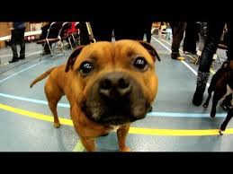 america pit bull terrier club staffordshire bull terrier club nl 2012 youtube
