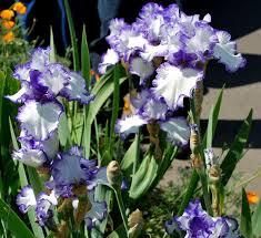 world of irises strikingly beautiful flowers