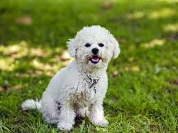 bichon frise names male bichon frise dog breed information buying advice photos and
