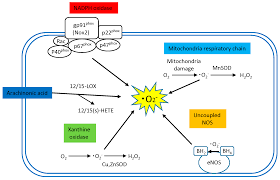 ijms free full text diabetic cardiovascular disease induced by