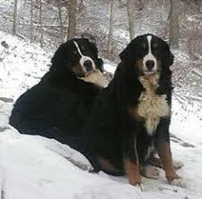australian shepherd e bovaro del bernese cucciolo bovaro del bernese www casabovary it bovaro del bernese