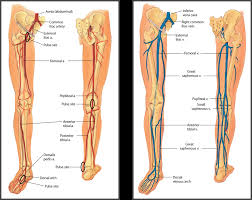 Foot Vascular Anatomy Human Body Archives Page 47 Of 60 Human Anatomy Chart